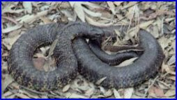 Black Tiger Snake - Notechis Ater