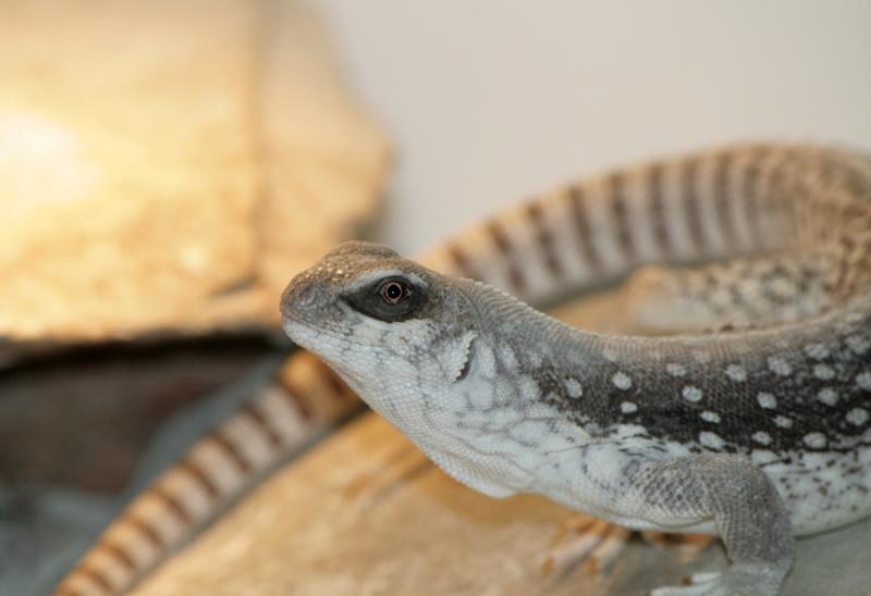 Dipsosaurus dorsalis – Iguana del deserto