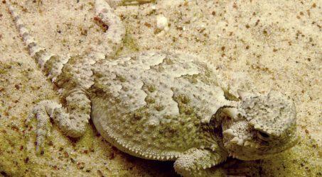 Phrynosoma platyrhinos platyrhinos