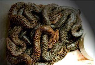 Cini Python o Granite Python ?