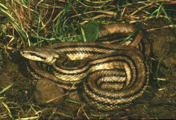 elaphequatuorlineata